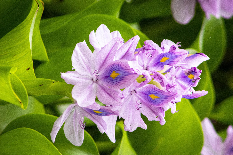 A closeup of a water hyacinth