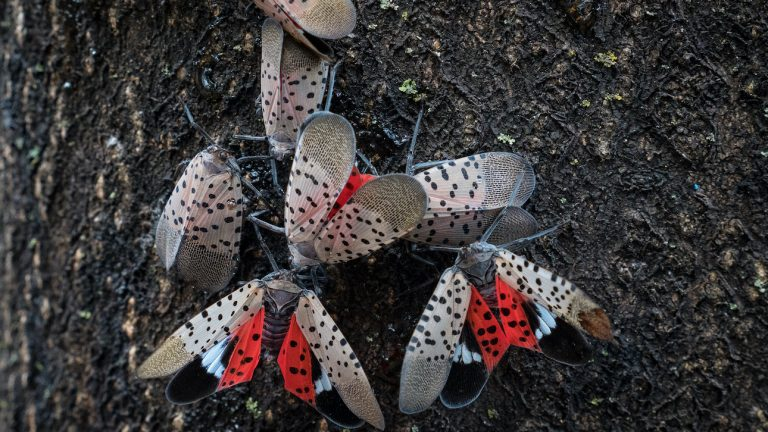 A closeup of spotted lanternflies on a tree