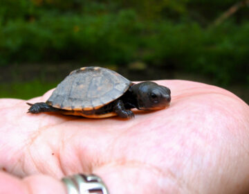 A baby turtle in Roxborough (Flickr Creative Commons/Tim McFarlance)