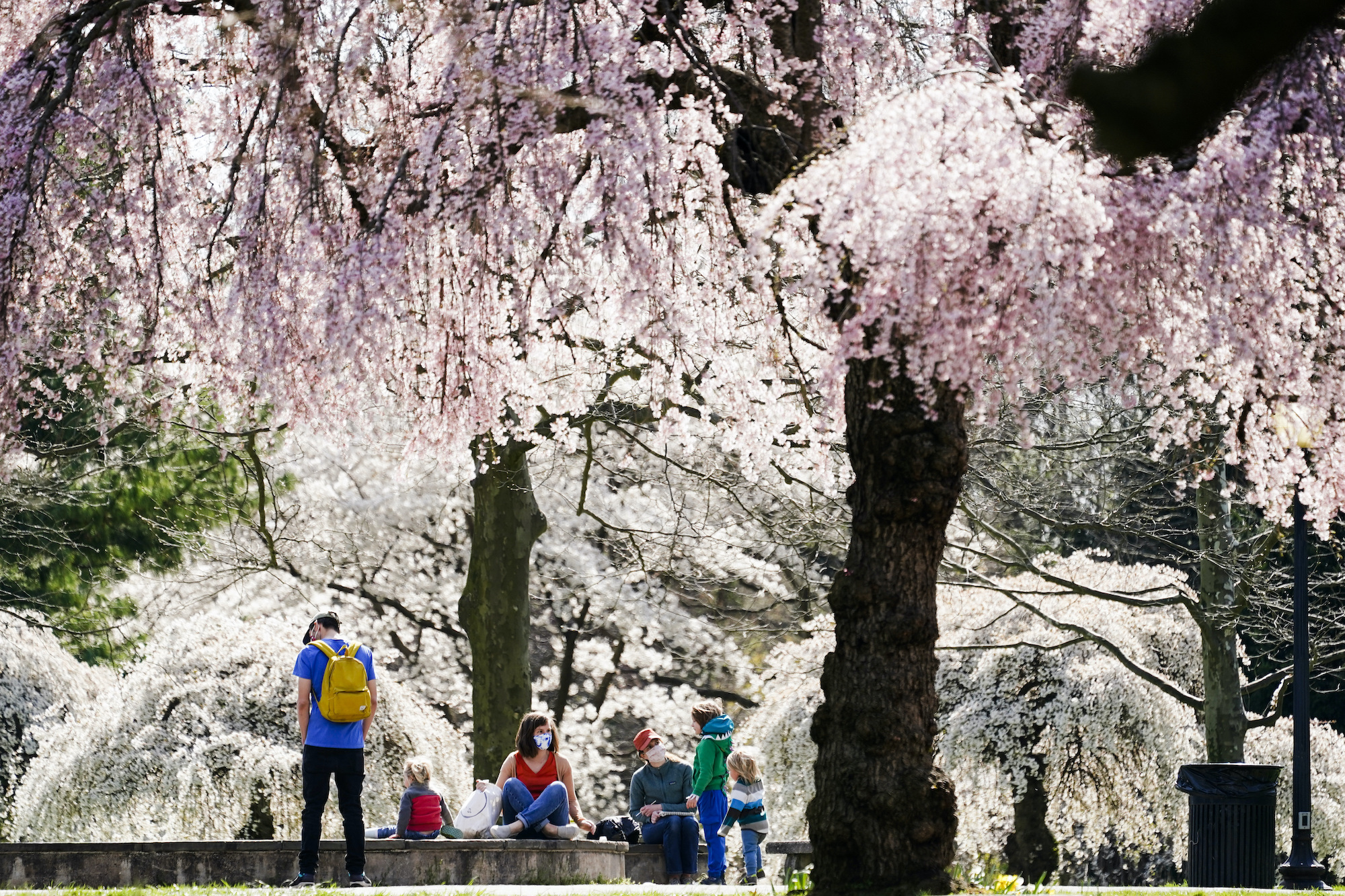 People wearing face masks gather amongst blooming cherry trees at the Fairmount Park Horticulture Center