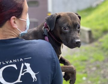 A PSPCA worker transports Pistachio the dog from a suspected dogfighting ring.