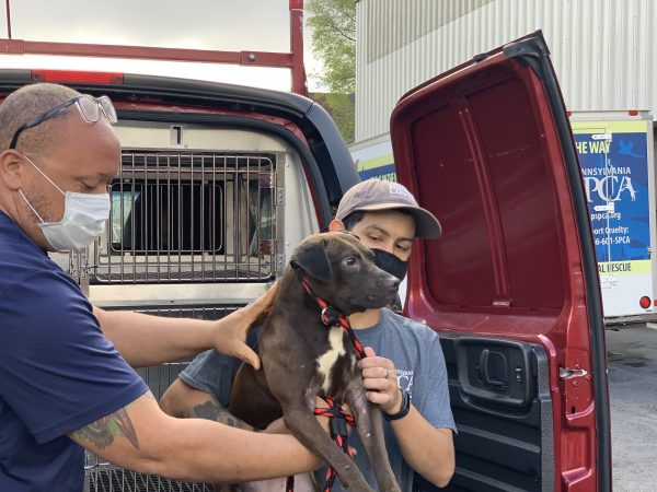A PSPCA worker transports Pistachio the dog