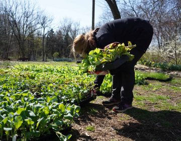 A volunteer picks up seedlings to donate to a community garden. (Kenny Cooper/WHYY)