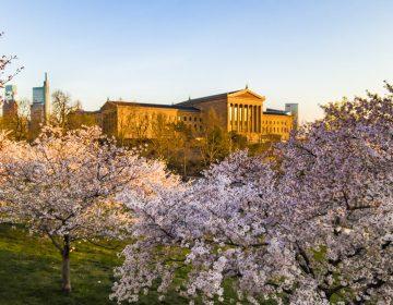 art museum-sunset-treescherryblossoms3-crop