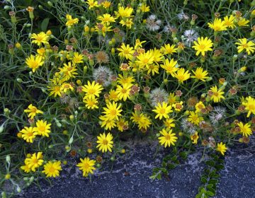 In its finding in favor of the Pinelands pipeline, a state appeals court said it did not threaten the rare sickle-leaved golden aster. (Doug McGrady via Creative Commons)