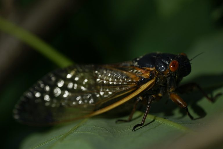 An adult cicada is seen, in Washington, Thursday, May 6, 2021. Trillions of cicadas are about to emerge from 15 states in the U.S. East. The cicadas of Brood X, trillions of red-eyed bugs singing loud sci-fi sounding songs, can seem downright creepy. Especially since they come out from underground only ever 17 years.  (AP Photo/Carolyn Kaster)