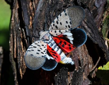 This Sept. 19, 2019, file photo, shows a spotted lanternfly at a vineyard in Kutztown, Pa. (AP Photo/Matt Rourke)