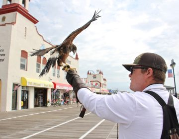 Ian Turner of East Coast Falcons releases a Harris's hawk on the Ocean City, N.J., boardwalk. The town hires falconers to keep the seagulls at bay during the tourist season. (Emma Lee/WHYY)