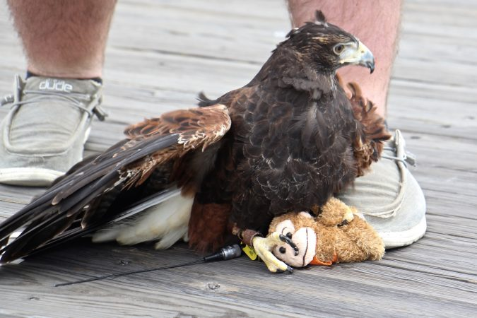 The birds from East Coast Falcons usually don't catch the seagulls, just frighten them. But this Harris's hawk captured a stuffed monkey that was blowing along the boardwalk. (Emma Lee/WHYY)