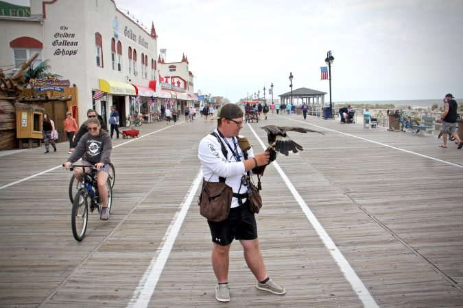 Ian Turner of East Coast Falcons holds a Harris's hawk on the Ocean City, N.J., boardwalk. The town hires falconers to keep the seagulls at bay during the tourist season. (Emma Lee/WHYY)