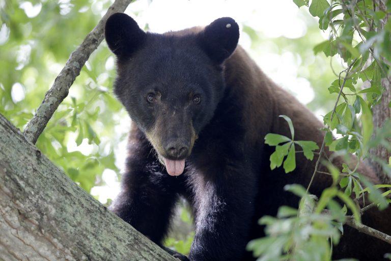 A Louisiana black bear is seen in a water oak tree