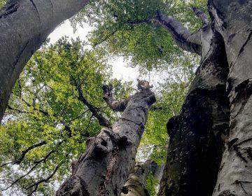 The Great Beech tree in Philadelphia