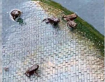 Frogs in the backyard
