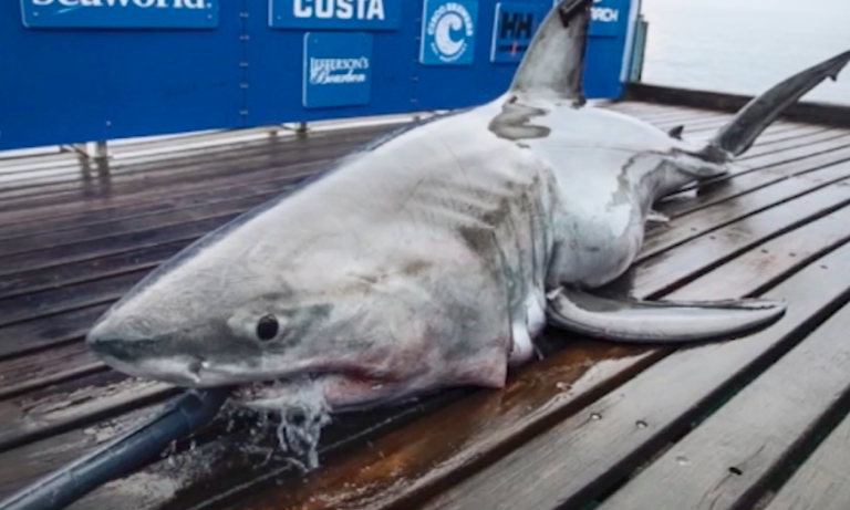 A nearly 900-pound, 11-foot-long great white shark pinged off the coast of Atlantic City as she made her way north last weekend. (6ABC)