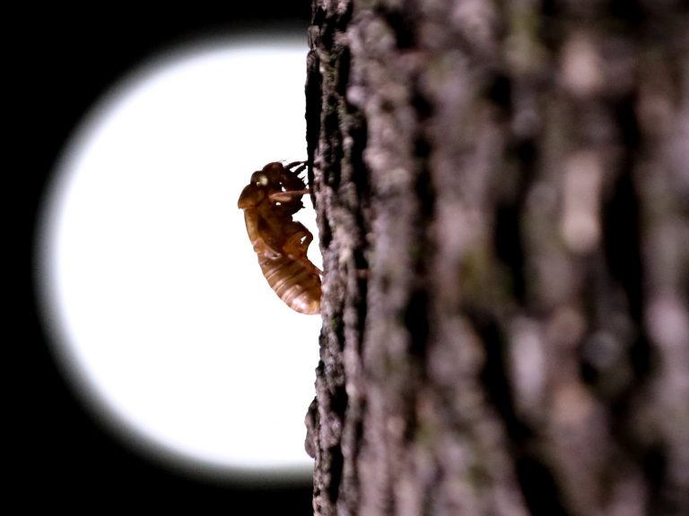 A cicada that have been living underground reemerges in Washington in May. (Anadolu Agency/Anadolu Agency via Getty Images)