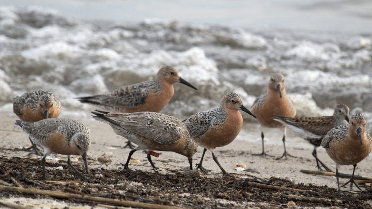 Migrating red knots (Photo: Business wire)