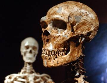A reconstructed Neanderthal skeleton (right) and a modern-human version of a skeleton are displayed at the American Museum of Natural History in New York in 2003. A new study confirms that early humans who lived in colder places adapted to have larger bodies. (Frank Franklin II/AP)