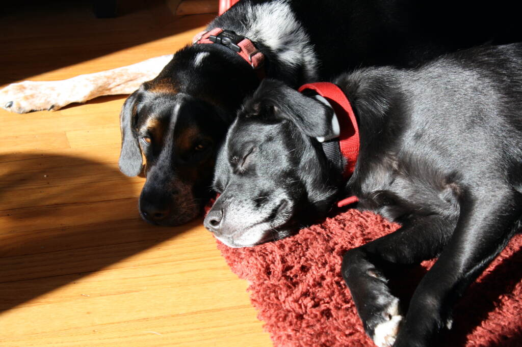 Rescue pups Rascal and Jude catch a nap on a rug