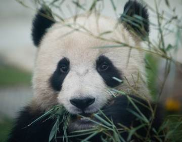 A Giant panda enjoys bamboo at the Beijing Zoo during the first day of the public display in 2008 in Beijing. (Feng Li/Getty Images)