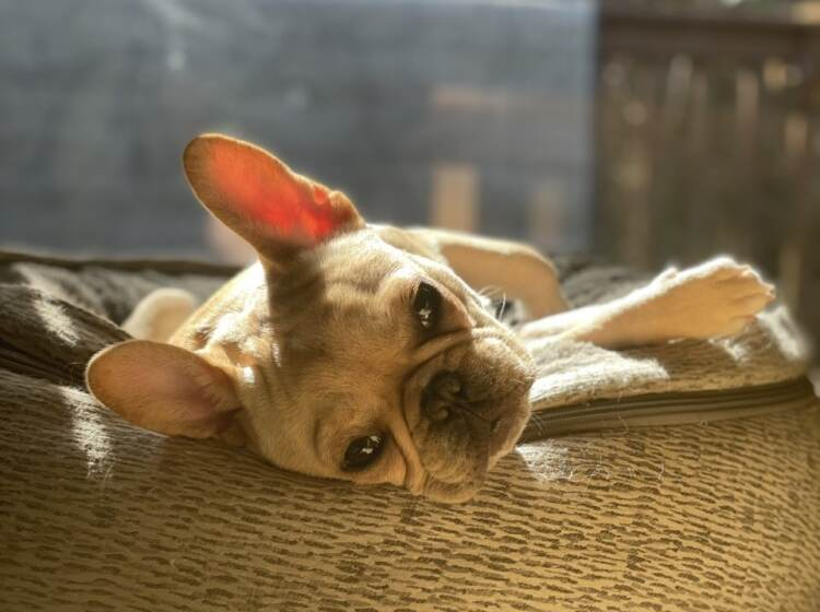 A French bulldog looks sad while laying down