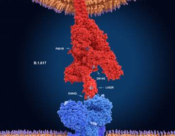 The numerals in this illustration show the main mutation sites of the delta variant of the coronavirus, which is likely the most contagious version. Here, the virus's spike protein (red) binds to a receptor on a human cell (blue). (Juan Gaertner/Science Source)