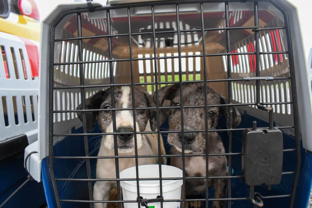 Two puppies stand inside a crate post-evacuation flight