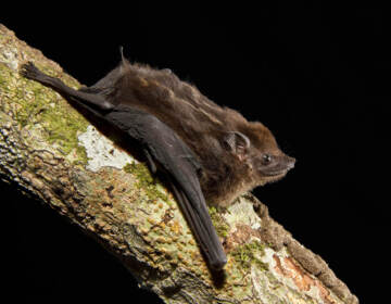 After listening to hours of bat pups in the wild, scientists have identified eight characteristics of babbling that are shared by human babies and the greater sac-winged bat. (B.G. Thomson/Science Source)