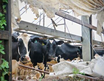 Cows peer out of their damaged shelter