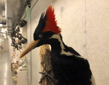An ivory-billed woodpecker, now extinct, is seen on a display at the California Academy of Sciences in San Francisco, Friday Sept. 24, 2021. Death's come knocking a last time for the splendid ivory-billed woodpecker and 22 assorted birds, fish and other species: The U.S. government is declaring them extinct, the Associated Press has learned. It's a rare move for wildlife officials to give up hope on a plant or animal, but government scientists say they've exhausted efforts to find these 23. (AP Photo/Haven Daley)
