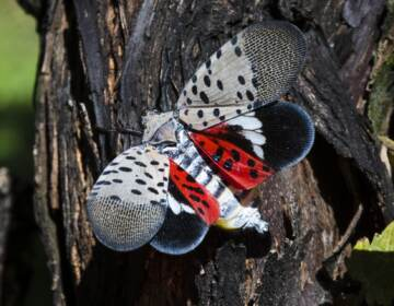 This Thursday, Sept. 19, 2019, photo shows a spotted lanternfly at a vineyard in Kutztown, Pa. The spotted lanternfly has emerged as a serious pest since the federal government confirmed its arrival in southeastern Pennsylvania five years ago this week. (Matt Rourke / AP Photo)