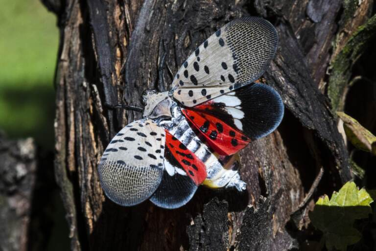 A spotted lanternfly at a vineyard in Kutztown, Pa. (AP Photo/Matt Rourke)