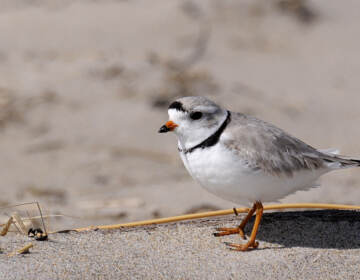 A piping plover at Parker River National Wildlife Refuge, Ma