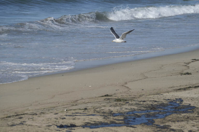 A seagull flies over oil washed up by the coast in Huntington Beach, Calif., on Sunday., Oct. 3, 2021. A major oil spill off the coast of Southern California fouled popular beaches and killed wildlife while crews scrambled Sunday to contain the crude before it spread further into protected wetlands. (AP Photo/Ringo H.W. Chiu)