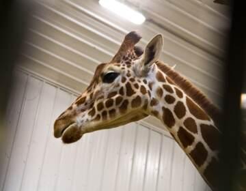 A giraffe is seen at Elmwood Park Zoo