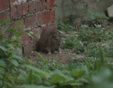 A rat is pictured in Hunting Park.