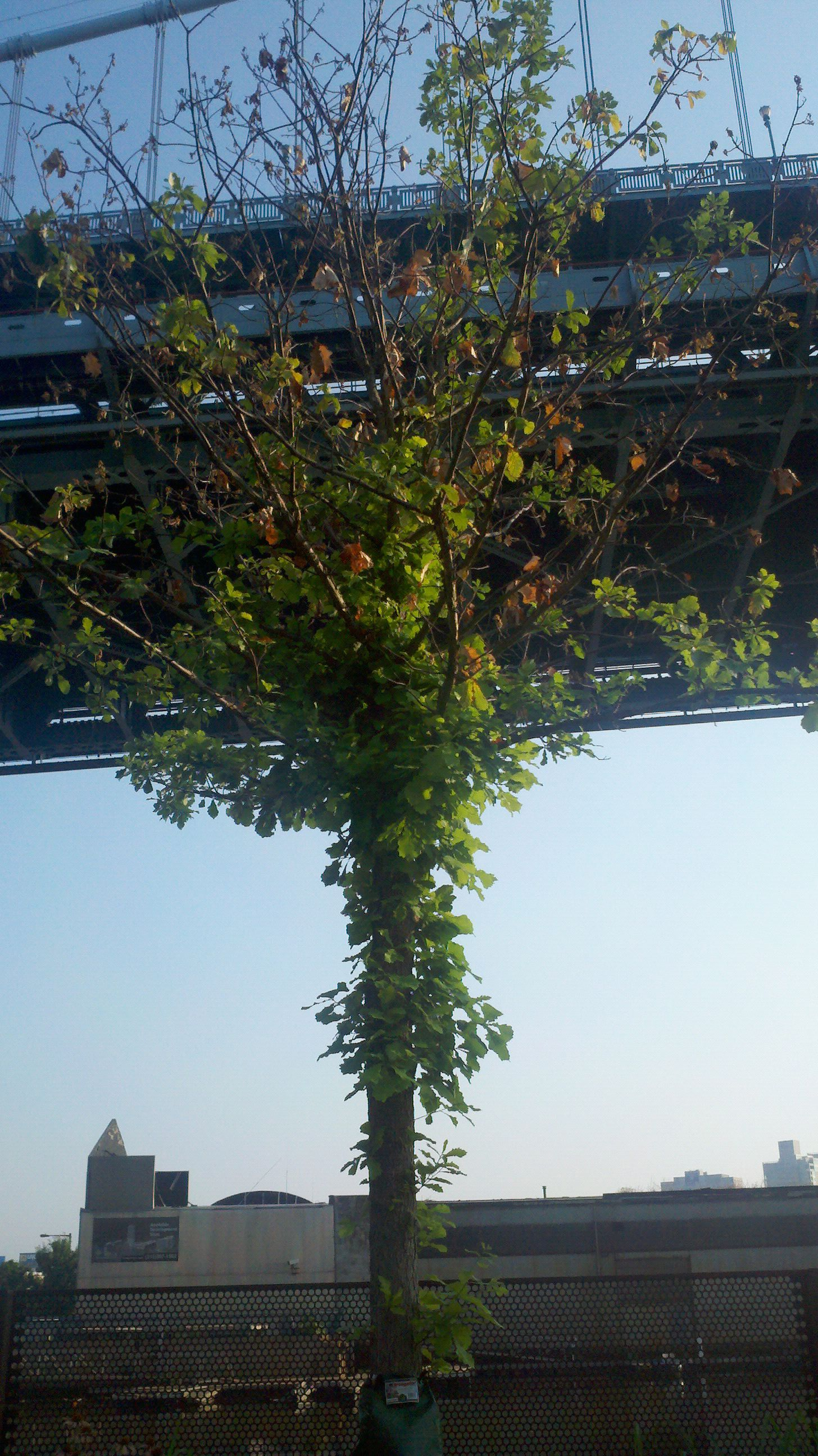 Stressed Race Street Pier trees have re-leafed