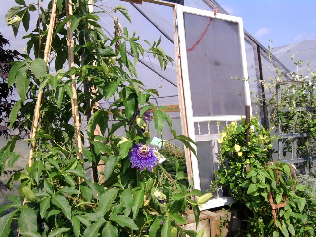 A passion flower grows near a Greensgrow greenhouse