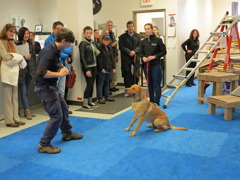 Dogs at trained at Penn Vet Working Dog Center live with foster families to get a sense of family life