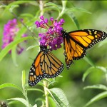 Two monarch butterflies rest on a butterfly bush at Jeanes Hospital.