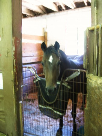 Mare Carrie relaxing in her stall at Solly Stables