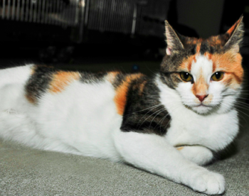Whitney is a young female calico who needs a home. Photo by Stephen Schultz
